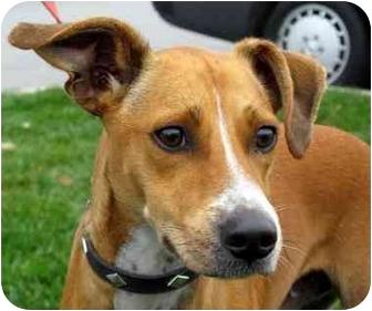 Pharaoh Hound Italian Greyhound Mix Rodney | Adopted Dog |...