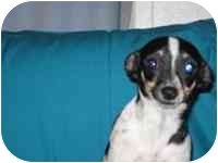 Rat Terrier Mix Puppy for adoption in Albuquerque, New Mexico - Charlotte