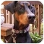 Photo 1 - Doberman Pinscher Dog for adoption in Arlington, Virginia - Allie