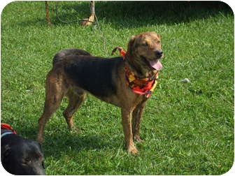 Mountain Cur/Mountain Cur Mix Dog for adoption in Carey, Ohio - Oscar**Waiting since May 2011