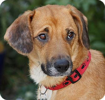Beagle/Terrier (Unknown Type, Small) Mix Dog for adoption in Los Angeles, California - Gracie von Guttenberg