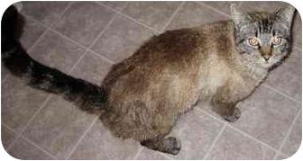 Siamese Cat for adoption in Tracy, California - Louie