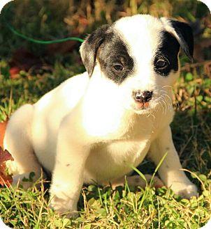 Boxer/Dalmatian Mix Puppy for adoption in Brattleboro, Vermont - Annabell