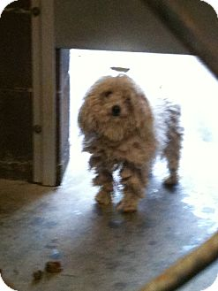 Poodle (Toy or Tea Cup) Mix Dog for adoption in Yuba City, California - 01/04 Pippi