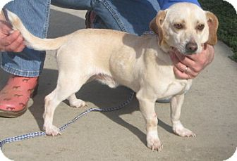 Chihuahua/Dachshund Mix Dog for adoption in Newberry, South Carolina - Buster
