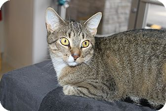 Domestic Shorthair Cat for adoption in North Branford, Connecticut - K. C.