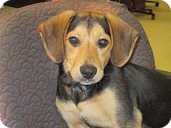 Beagle Mix Puppy for adoption in Hillsboro, Illinois - Chip