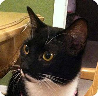 Domestic Shorthair Cat for adoption in Wilmington, North Carolina - Mugsy
