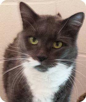 Domestic Shorthair Cat for adoption in North Kingstown, Rhode Island - Buzz