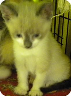 Siamese Kitten for adoption in Forest Hills, New York - Escrow
