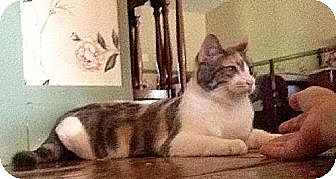 Domestic Shorthair Cat for adoption in Wartburg, Tennessee - Pattern