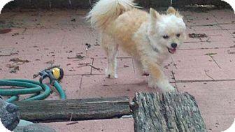 Chihuahua/Pomeranian Mix Dog for adoption in Austin, Texas - Tribb
