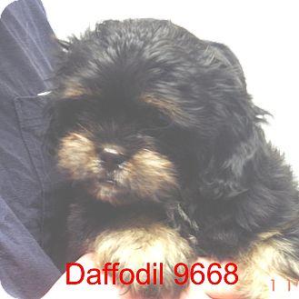 Shih Tzu Mix Puppy for adoption in Manassas, Virginia - Daffodil