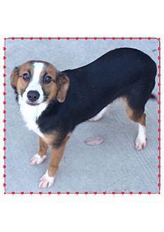 Collie/Terrier (Unknown Type, Small) Mix Dog for adoption in Eden Prairie, Minnesota - ELLA