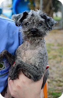 Poodle (Miniature) Dog for adoption in Bradenton, Florida - Pepper