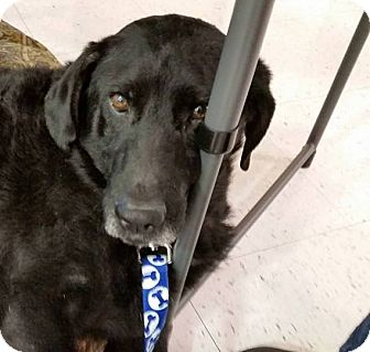 Labrador Retriever Dog for adoption in Aurora, Indiana - Norman
