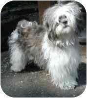 Shih Tzu Dog for adoption in Warren, New Jersey - Betty