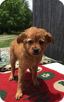 Terrier (Unknown Type, Small)/Chihuahua Mix Puppy for adoption in Fairmount, Georgia - Kelley