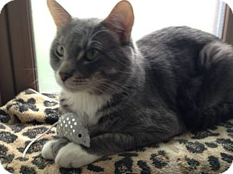 Domestic Shorthair Cat for adoption in Chicago, Illinois - Tally