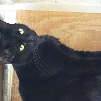 Domestic Shorthair Cat for adoption in Barnwell, South Carolina - Maddie