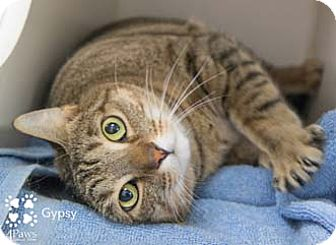 Domestic Shorthair Cat for adoption in Merrifield, Virginia - Gypsy