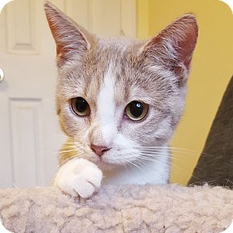 Domestic Shorthair Cat for adoption in Chattanooga, Tennessee - Champagne