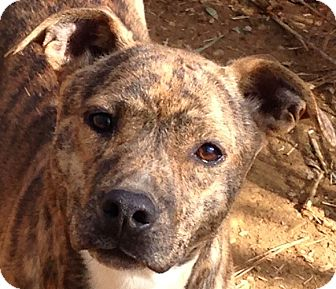 Pit Bull Terrier Mix Dog for adoption in Hagerstown, Maryland - Jaycee
