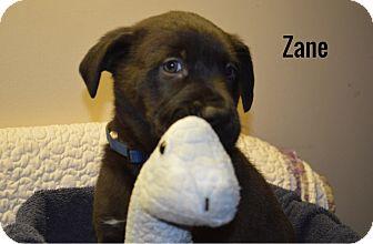 Mastiff/American Staffordshire Terrier Mix Puppy for adoption in Lancaster, Kentucky - Zane