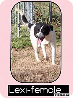 Border Collie Mix Dog for adoption in Harrisonburg, Virginia - Lexi (Reduced)
