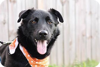 German Shepherd Dog/Labrador Retriever Mix Dog for adoption in Columbus, Ohio - Inky