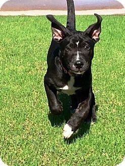 Catahoula Leopard Dog Mix Puppy for adoption in Gilbert, Arizona - Babe