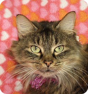 Domestic Longhair Cat for adoption in Jackson, Michigan - Heaven