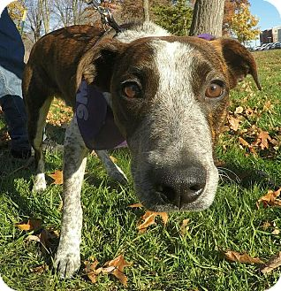 Hound (Unknown Type) Mix Dog for adoption in Detroit, Michigan - Homer-Adopted!