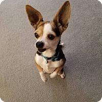 Adopt A Pet :: Fang - Flower Mound, TX