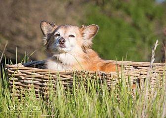 Sheltie, Shetland Sheepdog/Pomeranian Mix Dog for adoption in Capistrano Beach, California - Max