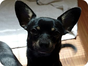 Chihuahua Dog for adoption in Great Falls, Virginia - Roscoe