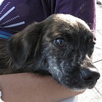 Adopt A Pet :: Lacey!  Gentle - St Petersburg, FL