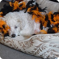 Adopt A Pet :: Miss Tilly - Baltimore, MD