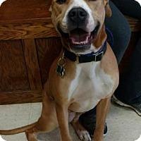 Adopt A Pet :: Sarge - Ashtabula, OH