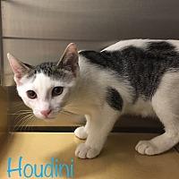 Domestic Shorthair Kitten for adoption in El Dorado Hills, California - Houdini