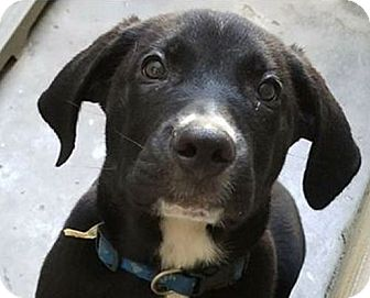 Labrador Retriever/Mixed Breed (Medium) Mix Puppy for adoption in Jacksonville, Florida - Loki