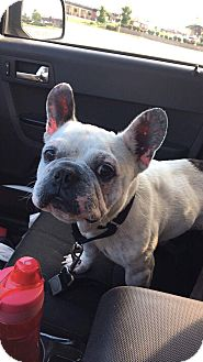 French Bulldog Dog for adoption in Cincinnati, Ohio - Max