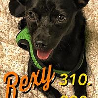 Adopt A Pet :: Rexy - Studio City, CA