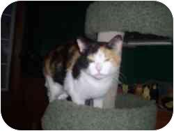 Domestic Shorthair Cat for adoption in Hamburg, New York - Charlotte Rose
