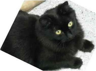 Domestic Mediumhair Cat for adoption in Edwards AFB, California - Izzy
