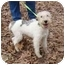 Photo 1 - Wirehaired Fox Terrier Dog for adoption in Harrisonburg, Virginia - Chester