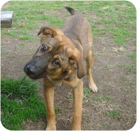 German Shepherd Dog/Pug Mix Dog for adoption in Antioch, Illinois - Captain