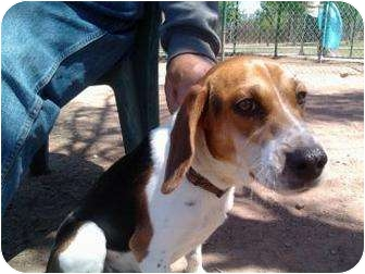 Beagle Mix Dog for adoption in Phoenix, Arizona - Whiskey
