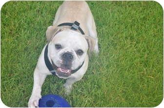 English Bulldog/Beagle Mix Dog for adoption in conyers, Georgia - stitch