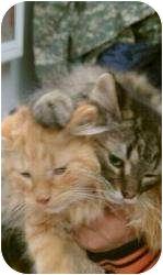 Domestic Longhair Kitten for adoption in Lonedell, Missouri - WoodStock-2  (Gray)